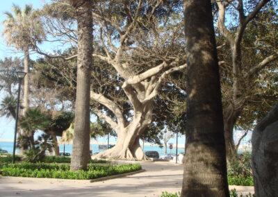 Secular trees in Mazara
